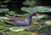 Aquatic Hens & Gallinules