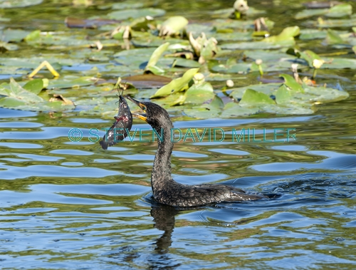 double crested cormorant picture;double crested cormorant;double-crested cormorant;cormorant;cormorant with fish;cormorant fishing;bird with fish;bird fishing;royal palm;everglades national park;catfish