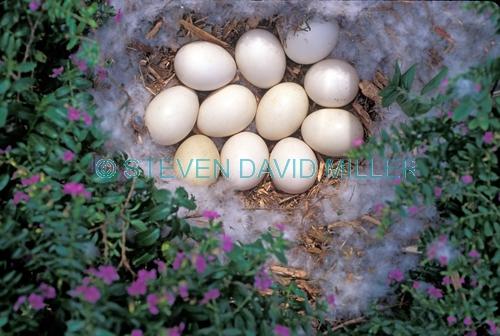 muscovy duck nest;cairina moschata nest;duck nest;nest with duck eggs;nest with muscovy duck eggs;nest with eggs and down;down nest;downy nest;nest;eggs in nest;steven david miller;natural wanders