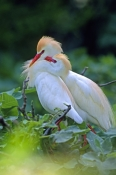 cattle-egret-picture;cattle-egret;cattle-egrets;cattle-egret-pair;bubulcus-ibis;cattle-egret-breeding-plumage;egret-breeding-plumage;cattle-egret-nesting-pair;bird-with-beautiful-feathers;egret-with-beautiful-feathers;nesting-colony;breeding-colony;nesting-rookery;breeding-rookery;st-augustine-alligator-farm;st-augustine;steven-david-miller;natural-wanders