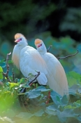 cattle-egret-picture;cattle-egret;cattle-egrets;cattle-egret-pair;bubulcus-ibis;cattle-egret-breeding-plumage;egret-breeding-plumage;cattle-egret-nesting-pair;bird-with-beautiful-feathers;egret-with-beautiful-feathers;nesting-colony;breeding-colony;nesting-rookery;breeding-rookery;st-augustine-alligator-farm;st-augustine;steven-david-miller