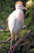cattle-egret-picture;cattle-egret;cattle-egrets;bubulcus-ibis;cattle-egret-breeding-plumage;egret-br