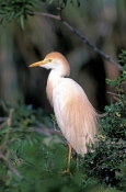 cattle-egret-picture;cattle-egret;cattle-egrets;bubulcus-ibis;cattle-egret-breeding-plumage;egret-breeding-plumage;bird-with-beautiful-feathers;egret-with-beautiful-feathers;nesting-colony;breeding-colony;nesting-rookery;breeding-rookery;st-augustine-alligator-farm;st-augustine;steven-david-miller;natural-wanders