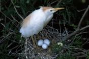 BEHAVIOUR;BIRDS;BUBULCUS-IBIS;HERONS;NESTS;PARENTAL;USA;VERTEBRATES;WADING-BIRDS