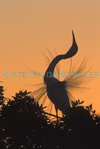 great egret picture;great egret;ardea albus;great egret breeding plumage;egret;egret displaying;great egret displaying;egret plumage;venice rookery;florida birds;venice;southwest florida;steven david miller;natural wanders