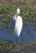 great-egret-picture;great-egret;ardea-albus;great-egret-preening-plumage;egret-preening;great-egret-