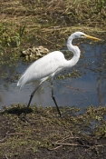 great-egret-picture;great-egret;ardea-albus;great-egret-walking;egret-walking;large-white-egret;whit