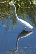 great-egret-picture;great-egret;ardea-albus;great-egret-in-water;great-egret-wading;large-white-egre
