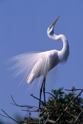 great-egret-picture;great-egret;egret;white-egret;ardea-alba;florida-bird;birds-of-florida;great-egr