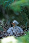 great-egret-picture;great-egret;ardea-albus;great-egret-chick;egret-chick;baby-bird;chick-in-nest;ba