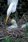 great-egret-picture;great-egret;ardea-albus;great-egret-chick;egret-chick;baby-bird;chick-in-nest;baby-egret-in-nest;baby-animal;st-augustine-alligator-farm;egret;florida-birds;steven-david-miller;natural-wanders