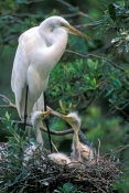 great-egret-picture;great-egret;ardea-albus;great-egret-chick;egret-chick;baby-bird;chick-in-nest;baby-egret-in-nest;baby-animal;st-augustine-alligator-farm;egret;florida-birds;steven-david-miller;natural-wanders;egret-with-chicks;egret-with-chicks-in-nest