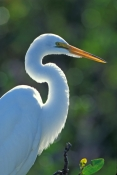 great-egret-picture;great-egret;ardea-albus;egret;white-egret;white-bird;wild-bird-center;tavernier;