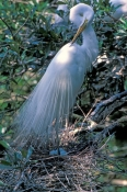 great-egret-picture;great-egret;ardea-albus;great-egret-breeding-plumage;great-egret-on-nest;egret;egret-preening;great-egret-preening;egret-plumage;nesting-egret;st-augustine-alligator-farm;florida-birds;steven-david-miller;natural-wanders;egret-on-nest-with-eggs