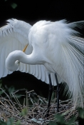 great-egret-picture;great-egret;ardea-albus;great-egret-breeding-plumage;great-egret-on-nest;egret;e