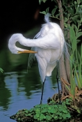 great-egret-picture;great-egret;ardea-albus;great-egret-preening;egret-preening;bird-preening-feathers;white-bird;white-egret;wakodahtchee-wetlands;delray-beach;florida;steven-david-miller;natural-wanders