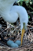 great-egret-picture;great-egret;ardea-albus;great-egret-breeding-plumage;great-egret-on-nest;egret;nesting-egret;egret-nest;egret-eggs;st-augustine-alligator-farm;florida-birds;steven-david-miller;natural-wanders;egret-on-nest-with-eggs;bird-turning-eggs;egret-turning-eggs