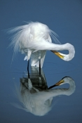 great-egret-picture;great-egret;ardea-albus;great-egret-preening;egret-preening;bird-preening-feathe