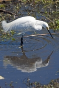 snowy-egret-picture;snowy-egret;egret;egretta-thula;egret-fishing;snowy-egret-fishing;florida-bird;white-egret;florida-birds;florida-national-parks;everglades-birds;everglades-national-park;royal-palm;snowy-egret-foraging;snowy-egret-hunting