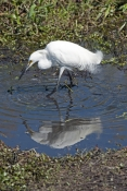 snowy-egret-picture;snowy-egret;egret;egretta-thula;egret-fishing;snowy-egret-fishing;florida-bird;white-egret;florida-birds;florida-national-parks;everglades-birds;everglades-national-park;royal-palm;snowy-egret-foraging;snowy-egret-hunting;egret-stirring-water-with-foot