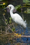 snowy-egret-picture;snowy-egret;egret;egretta-thula;egret-fishing;snowy-egret-fishing;florida-bird;white-egret;florida-birds;florida-national-parks;everglades-birds;everglades-national-park;shark-valley;snowy-egret-foraging;snowy-egret-hunting