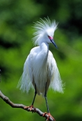 snow-egret-picture;snowy-egret;egretta-thula;white-egret;beautiful-bird;gorgeous-bird;snowy-egret-courtship-plumage;snowy-egret-breeding-plumage;snowy-egret-breeding-colors;snowy-egret-breeding-colours;lacy-feathers;saint-augustine;st-augustine-alligator-farm;florida-egrets;steven-david-miller;natural-wanders