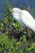 snowy-egret-picture;snowy-egret;egret;egretta-thula;egret-preening;snowy-egret-fishing;florida-bird;ding-darling-national-wildlife-refuge;national-wildlife-refuge;sanibel-island;southwest-florida;steven-david-miller;natural-wanders;egret-with-fish;bird-with-fish