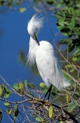 snowy-egret-picture;snowy-egret;egret;egretta-thula;egret-preening;snowy-egret-preening;florida-bird;ding-darling-national-wildlife-refuge;national-wildlife-refuge;sanibel-island;southwest-florida;steven-david-miller;natural-wanders