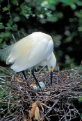 snowy-egret-picture;snowy-egret;snowy-egret-in-nest;snowy-egret-with-eggs-egretta-thula;egret;florida-bird;white-bird;bird-in-nest;beautiful-bird;st-augustine-alligator-farm;st-augustine;central-florida;florida;steven-david-miller;natural-wanders