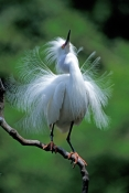 snow-egret-picture;snowy-egret;egretta-thula;white-egret;beautiful-bird;gorgeous-bird;snowy-egret-courtship-display;snowy-egret-breeding-dispay;snowy-egret-breeding-plumage;snowy-egret-breeding-colors;snowy-egret-breeding-colours;lacy-feathers;saint-augustine;st-augustine-alligator-farm;florida-egrets;steven-david-miller;natural-wanders