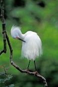 snowy-egret-picture;snowy-egret;snowy-egret-breeding-plumage;snowy-egret-preening;snowy-egret-breeding-colors;egretta-thula;egret;florida-bird;white-bird;bird-with-green-background;beautiful-bird;st-augustine-alligator-farm;st-augustine;central-florida;florida;steven-david-miller;natural-wanders