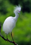 snowy-egret-picture;snowy-egret;snowy-egret-breeding-plumage;snowy-egret-breeding-colors;egretta-thula;egret;florida-bird;white-bird;bird-with-green-background;beautiful-bird;st-augustine-alligator-farm;st-augustine;central-florida;florida;steven-david-miller;natural-wanders