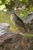 black-crowned-night-heron-picture;black-crowned-night-heron;black-crowned-night-heron;nycticorax-nycticorax;night-heron;heron-standing;heron-beside-water;birds-of-hawaii;hawaiian-birds;hilton-hotel-honolulu;hilton-hawaiian-resort;wild-bird-in-cultivated-garden;steven-david-miller;natural-wanders