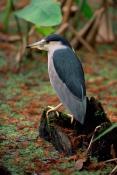 BIRDS;HERONS;NYCTICORAX-NYCTICORAX;SWAMPS;USA;VERTEBRATES;WETLANDS