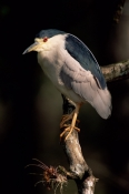 BIRDS;HERONS;NYCTICORAX-NYCTICORAX;PORTRAITS;USA;VERTEBRATES