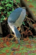 black-crowned-night-heron-picture;black-crowned-night-heron;black-crowned-night-heron;night-heron;heron;florida-bird;nycticorax-nycticorax;audubon-sanctuary;corkscrew-swamp-sanctuary;swamp;slough;florida-swamp;southwest-florida;steven-david-miller;natural-wanders