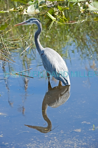 great blue heron picture;great blue heron;heron;large heron;Ardea herodias;great blue heron in water;royal palm;everglades national park;florida national park;florida birds;everglades birds;reflection;bird reflection