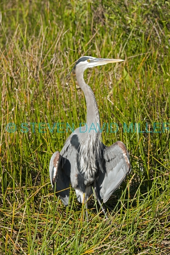 great blue heron picture;great blue heron;heron;large heron;Ardea herodias;great blue heron in reeds;royal palm;everglades national park;florida national park;florida birds;everglades birds;great blue heron cooling off;great blue heron panting;great blue heron in grass