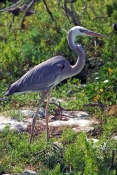 great-blue-heron-intermediate-morph-picture;great-blue-heron-intermediate-morph;great-blue-heron;wurdermanns-heron;heron;florida-bird;tavernier;wild-bird-center;florida-keys;great-blue-heron-morph;steven-david-miller;natural-wanders