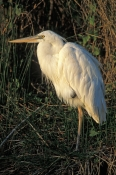 great-blue-heron-picture;great-blue-heron;great-blue-heron-white-morph;white-morph-great-blue-heron;ardea-herodias;heron-standing-on-one-leg;bird-standing-on-one-leg;florida-herons;florida-birds;royal-palm;everglades-national-park;southwest-florida;steven-david-miller;natural-wanders