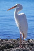 great-blue-heron-picture;great-blue-heron;great-blue-heron-white-morph;white-morph-great-blue-heron;ardea-herodias;marathon;sombrero-beach;florida-keyes-florida-herons;florida-birds;south-florida;steven-david-miller;natural-wanders