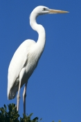 BIRDS;HERONS;PORTRAITS;USA;VERTEBRATES;VERTICAL;WADING-BIRDS;great-blue-heron;great-white-heron;area-horodias-occidentalis