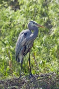 great-blue-heron-picture;great-blue-heron;heron;large-heron;Ardea-herodias;great-blue-heron-on-nest;shark-valley;everglades-national-park;florida-national-park;florida-birds;everglades-birds