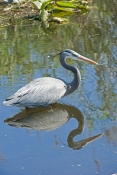 great-blue-heron-picture;great-blue-heron;heron;large-heron;Ardea-herodias;great-blue-heron-in-water;royal-palm;everglades-national-park;florida-national-park;florida-birds;everglades-birds;reflection;bird-reflection