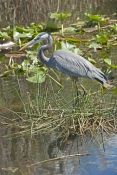 great-blue-heron-picture;great-blue-heron;heron;large-heron;Ardea-herodias;great-blue-heron-in-water;royal-palm;everglades-national-park;florida-national-park;florida-birds;everglades-birds