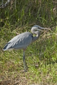 great-blue-heron-picture;great-blue-heron;heron;large-heron;Ardea-herodias;great-blue-heron-in-reeds;royal-palm;everglades-national-park;florida-national-park;florida-birds;everglades-birds;great-blue-heron-on-land;great-blue-heron-on-grass