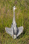 great-blue-heron-picture;great-blue-heron;heron;large-heron;Ardea-herodias;great-blue-heron-in-reeds;royal-palm;everglades-national-park;florida-national-park;florida-birds;everglades-birds;great-blue-heron-cooling-off;great-blue-heron-panting;great-blue-heron-in-grass