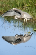 great-blue-heron-picture;great-blue-heron;heron;large-heron;Ardea-herodias;great-blue-heron-in-water;royal-palm;everglades-national-park;florida-national-park;florida-birds;everglades-birds;reflection;bird-reflection;bird-preening;heron-preening;great-blue-heron-preening;preening