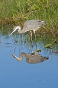 great-blue-heron-picture;great-blue-heron;heron;large-heron;Ardea-herodias;great-blue-heron-in-water