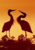 great-blue-heron-picture;great-blue-heron-pair;great-heron-pair;blue-heron-pair;big-heron;large-heron;ardea-herodias;great-blue-heron-courtship-display;venice-rookery;florida-herons;florida-birds;birds-of-florida;steven-david-miller;silouette